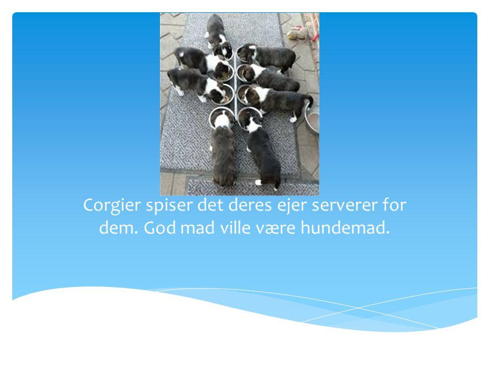 Føde Corgier spiser det deres ejer serverer for dem. God mad ville være hundemad.