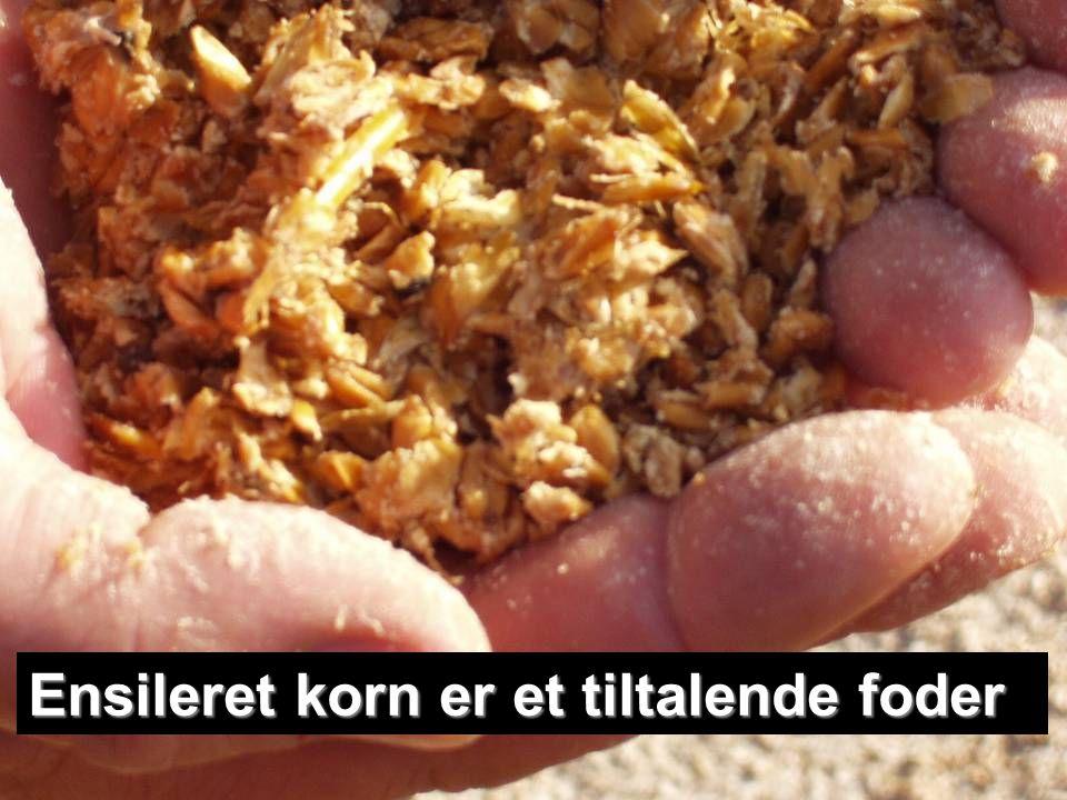 Ensileret korn er et tiltalende foder