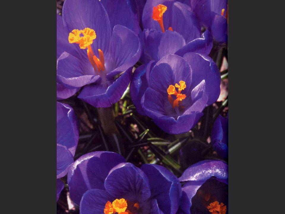 Violette blomster