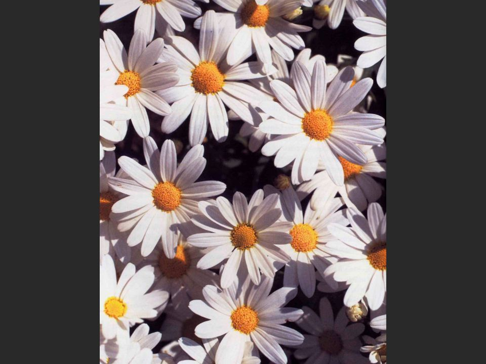 Magueritte blomster