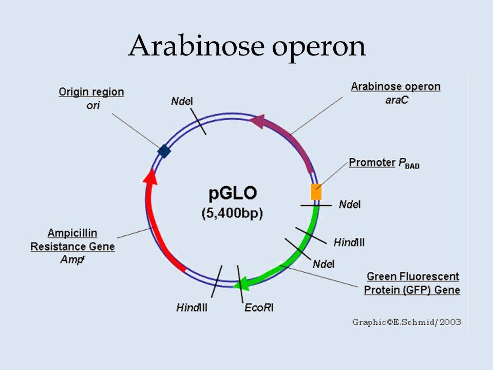 Arabinose operon