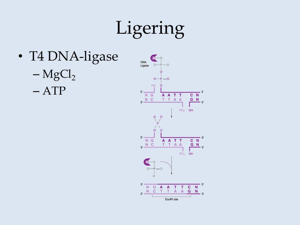 Ligering T4 DNA-ligase MgCl2 ATP
