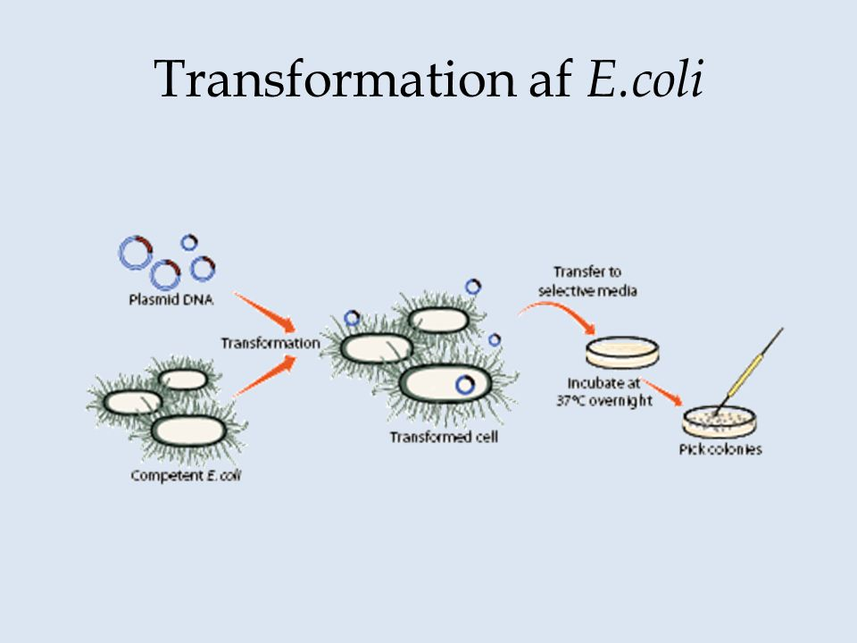 Transformation af E.coli