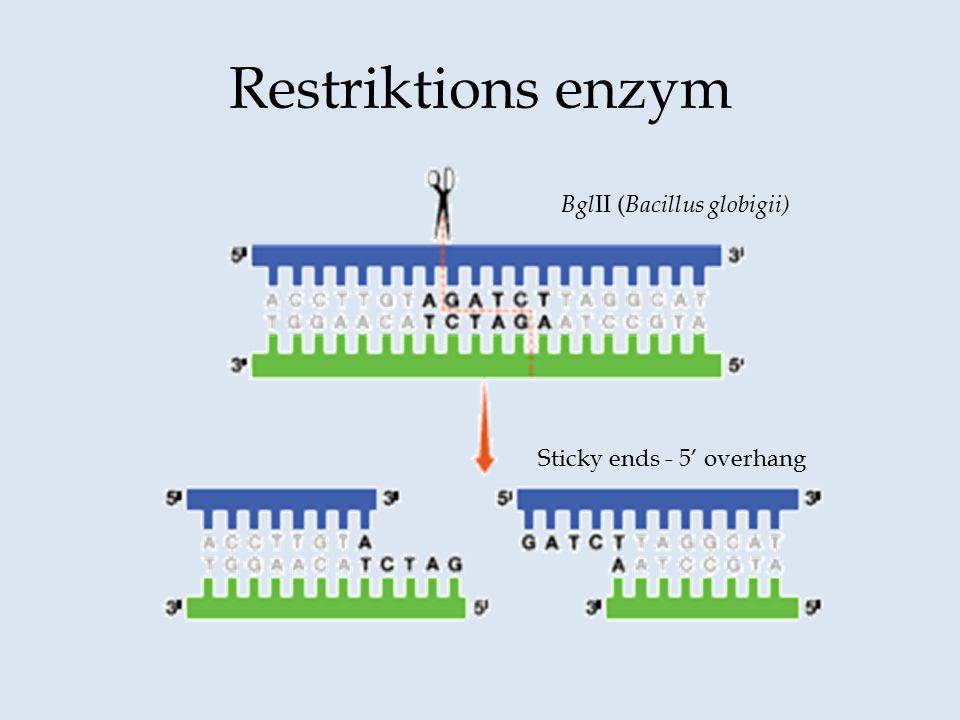 Restriktions enzym BglII (Bacillus globigii) Sticky ends - 5' overhang
