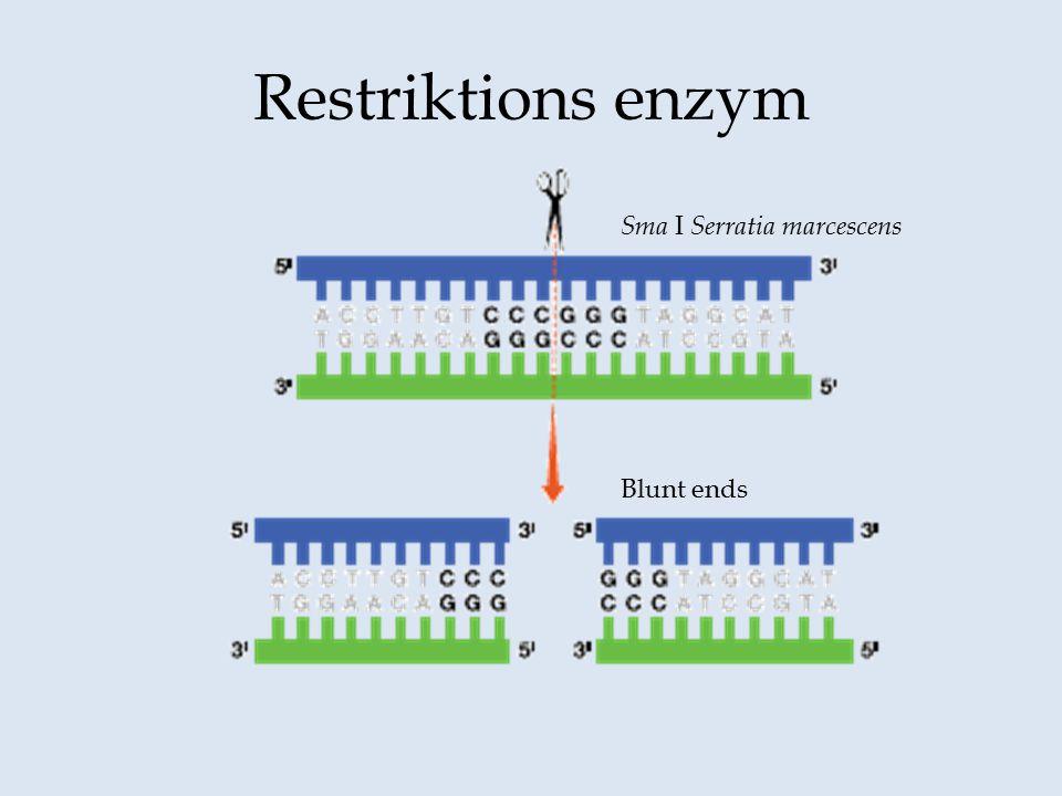 Restriktions enzym Sma I Serratia marcescens Blunt ends