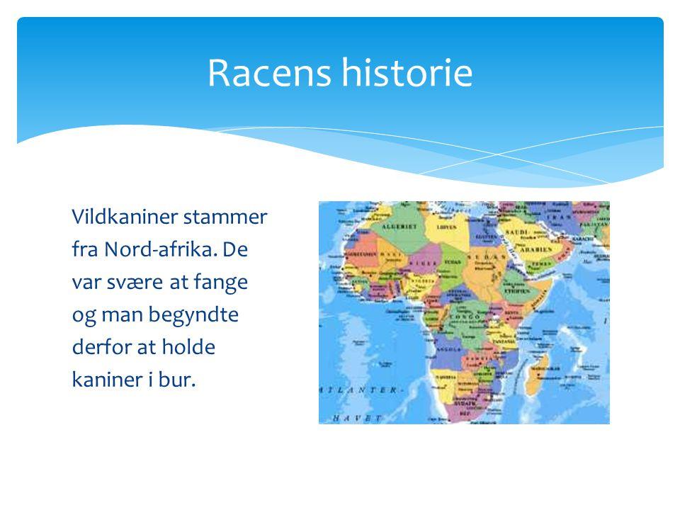 Racens historie Vildkaniner stammer fra Nord-afrika.