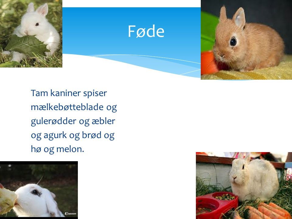 Føde Tam kaniner spiser mælkebøtteblade og gulerødder og æbler og agurk og brød og hø og melon.