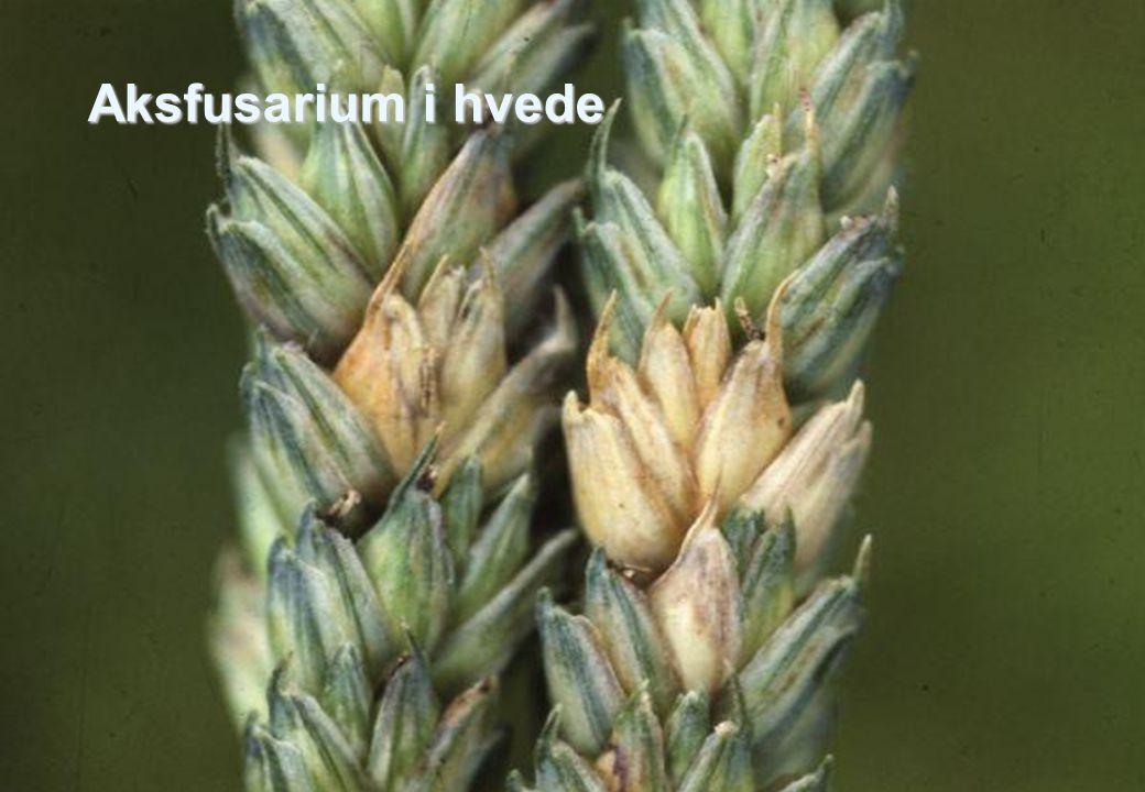 Aksfusarium i hvede Udbredelsen af aksfusarium og dermed fusariumtoksiner er også afhængig af dyrkningsteknik.