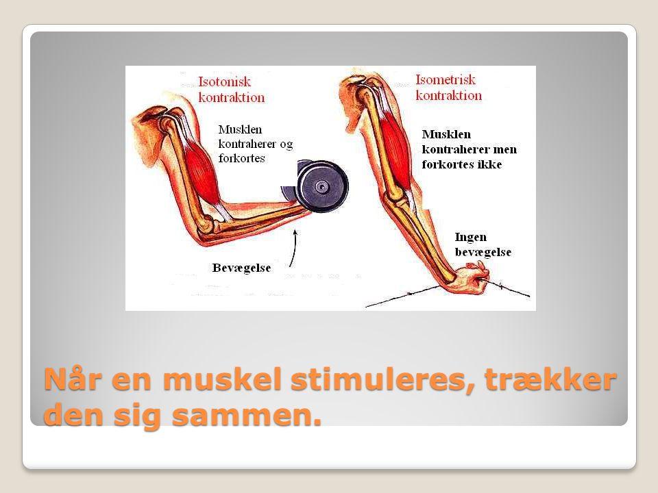 Når en muskel stimuleres, trækker den sig sammen.