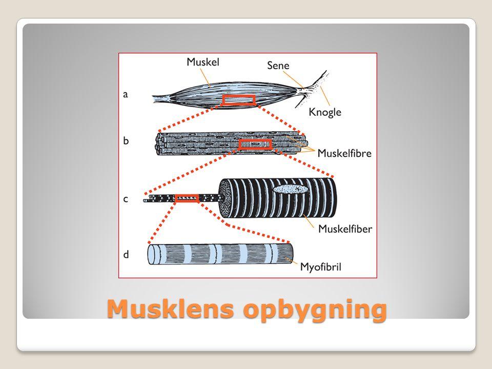 Musklens opbygning