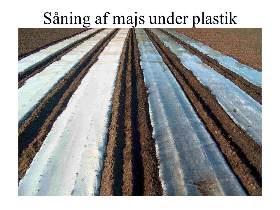 Såning af majs under plastik