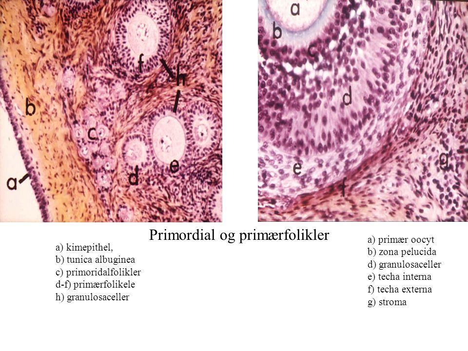 Primordial og primærfolikler