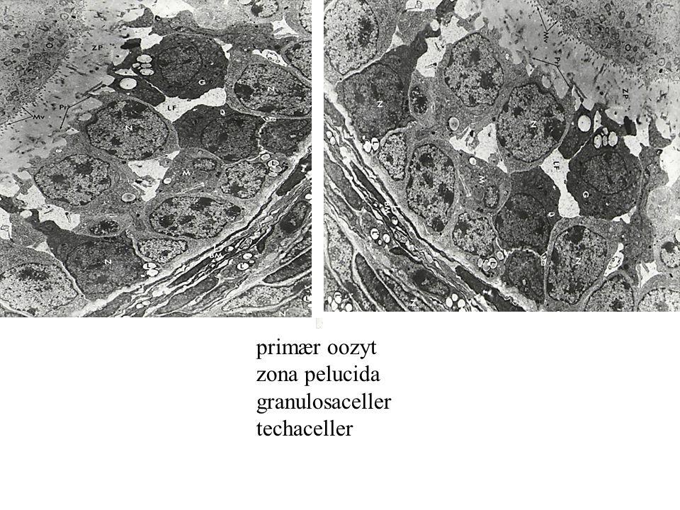primær oozyt zona pelucida granulosaceller techaceller