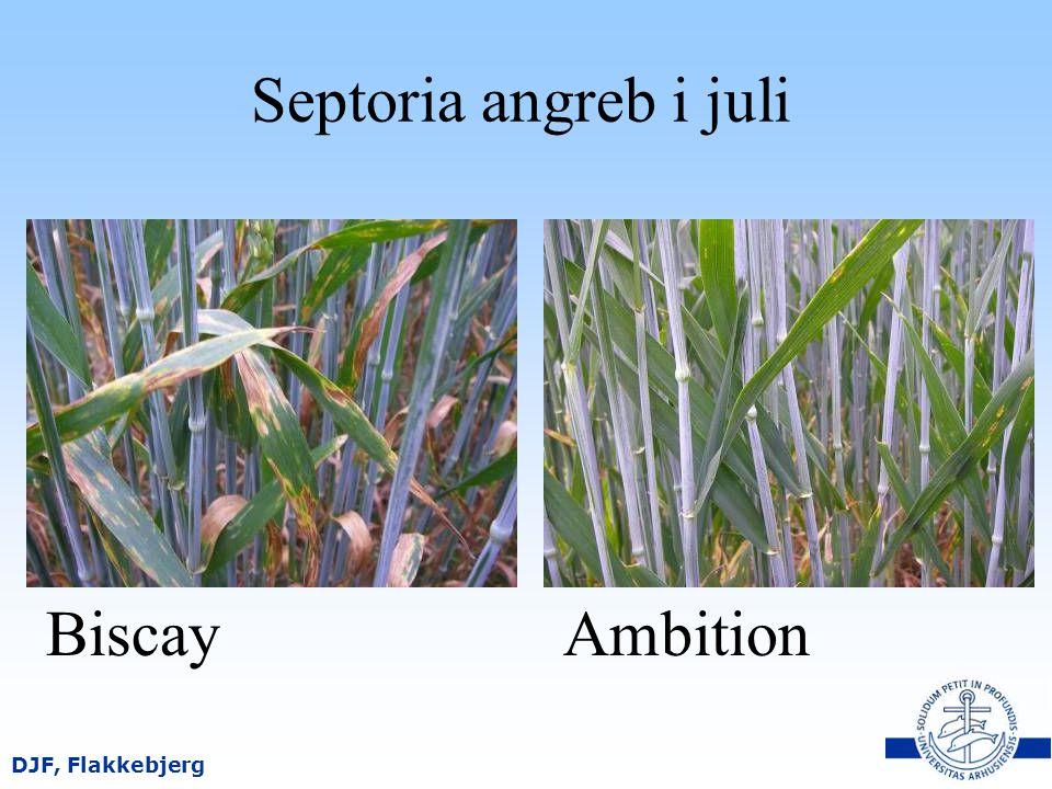 Septoria angreb i juli Biscay Ambition