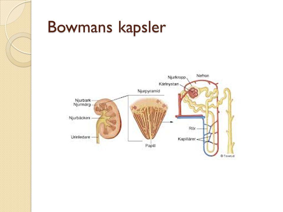 Bowmans kapsler