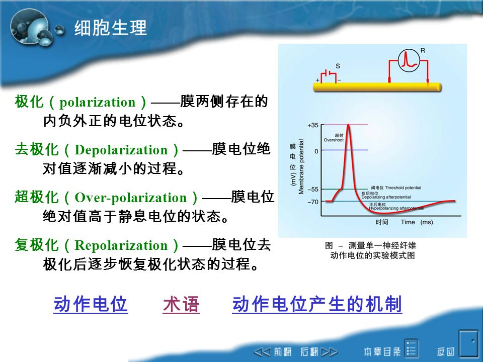 细胞生理 动作电位 术语 动作电位产生的机制 极化(polarization)——膜两侧存在的内负外正的电位状态。