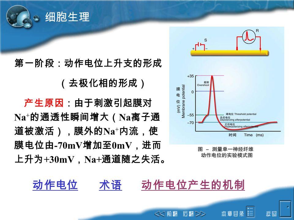 细胞生理 动作电位 术语 动作电位产生的机制 第一阶段:动作电位上升支的形成 (去极化相的形成)