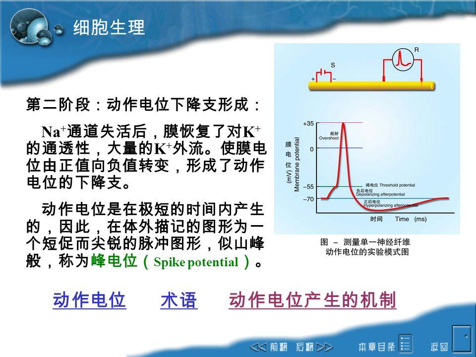 细胞生理 动作电位 术语 动作电位产生的机制 第二阶段:动作电位下降支形成: