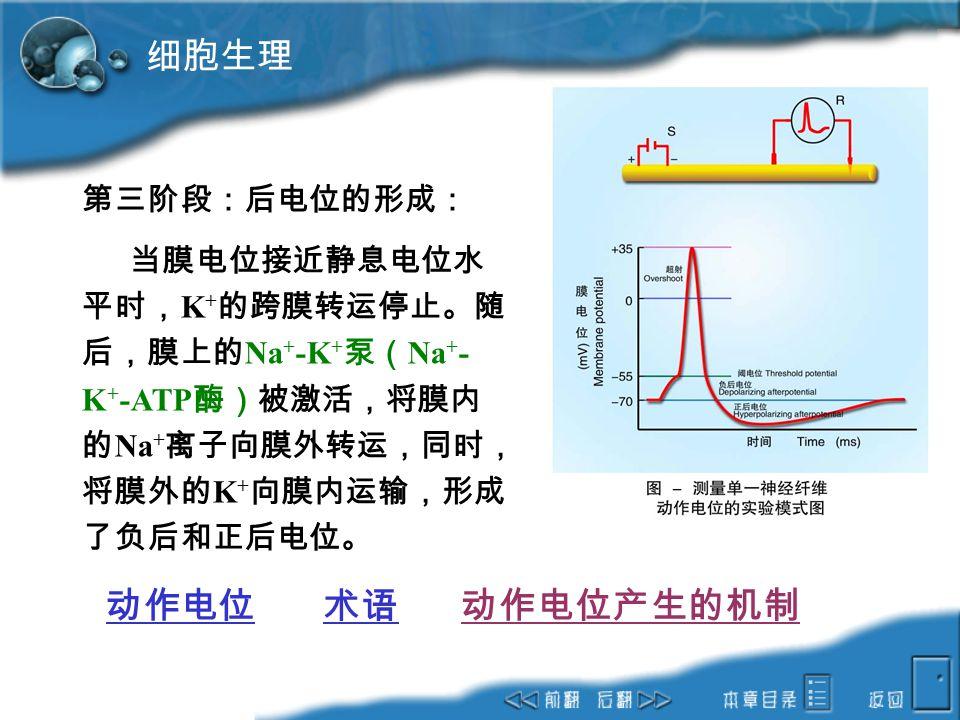 细胞生理 动作电位 术语 动作电位产生的机制 第三阶段:后电位的形成: