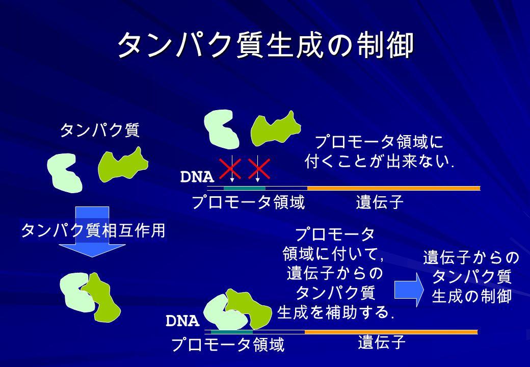 タンパク質生成の制御 DNA DNA タンパク質 プロモータ領域に 付くことが出来ない. プロモータ領域 遺伝子 タンパク質相互作用
