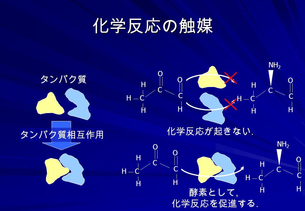 化学反応の触媒 タンパク質 化学反応が起きない. タンパク質相互作用 酵素として, 化学反応を促進する. NH2 O O C C H H