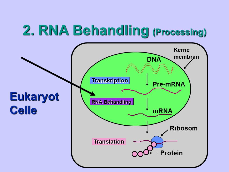 2. RNA Behandling (Processing)