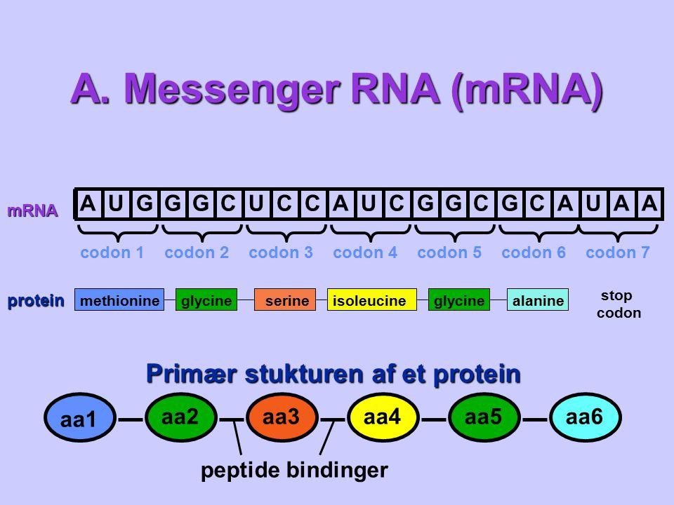 A. Messenger RNA (mRNA) Primær stukturen af et protein A U G C aa1 aa2