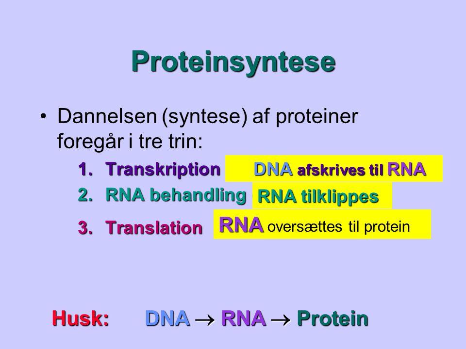 Proteinsyntese Dannelsen (syntese) af proteiner foregår i tre trin: