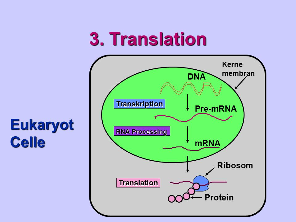 3. Translation Eukaryot Celle DNA Pre-mRNA mRNA Ribosom Protein Kerne