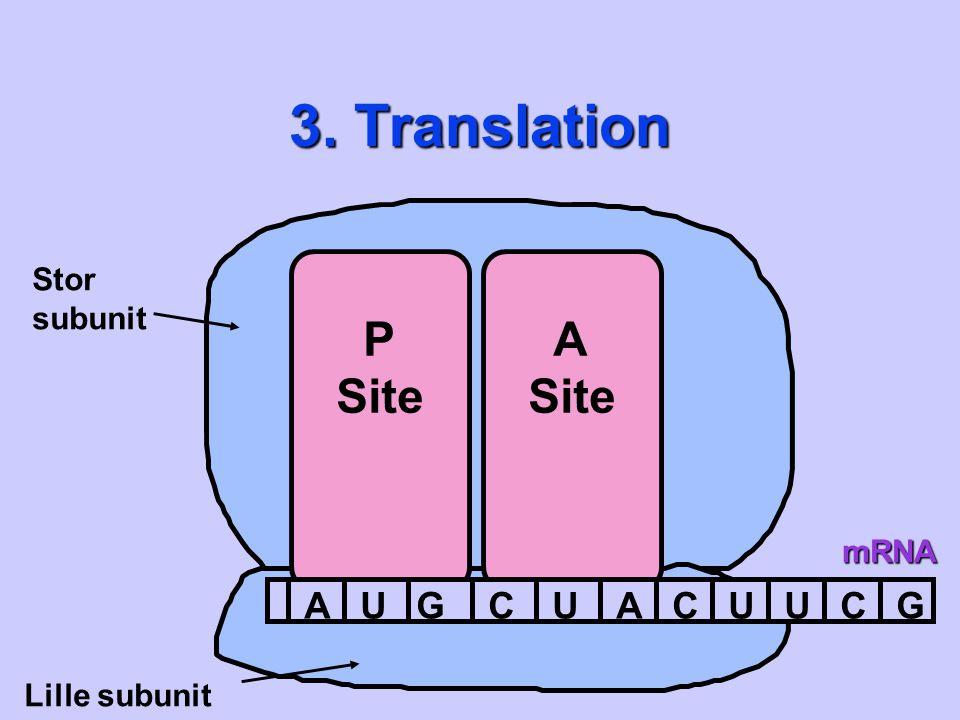 3. Translation Stor subunit P Site A Site mRNA A U G C Lille subunit