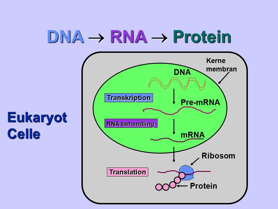 DNA  RNA  Protein Eukaryot Celle DNA Pre-mRNA mRNA Ribosom Protein