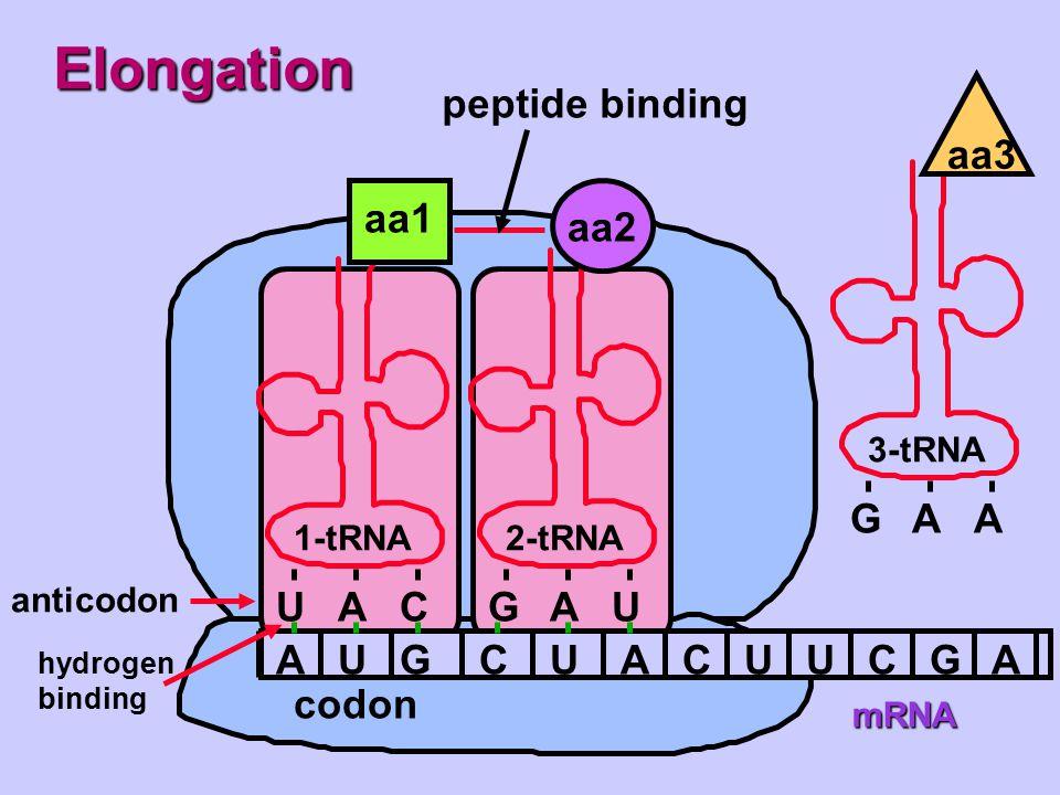 Elongation peptide binding G A aa3 aa1 aa2 U A C G A U A U G C U A C U