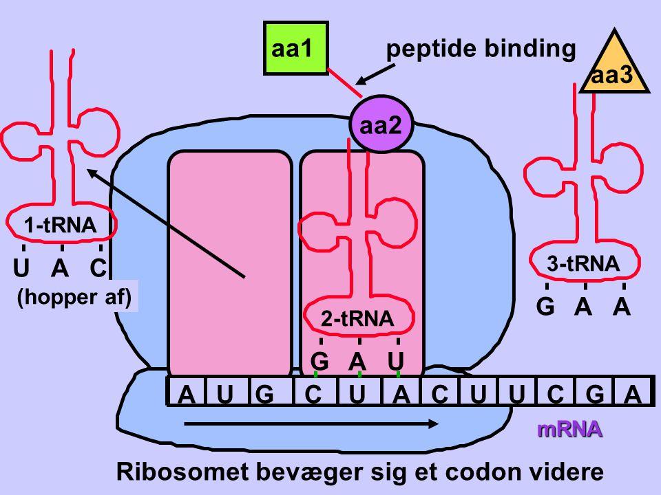 Ribosomet bevæger sig et codon videre