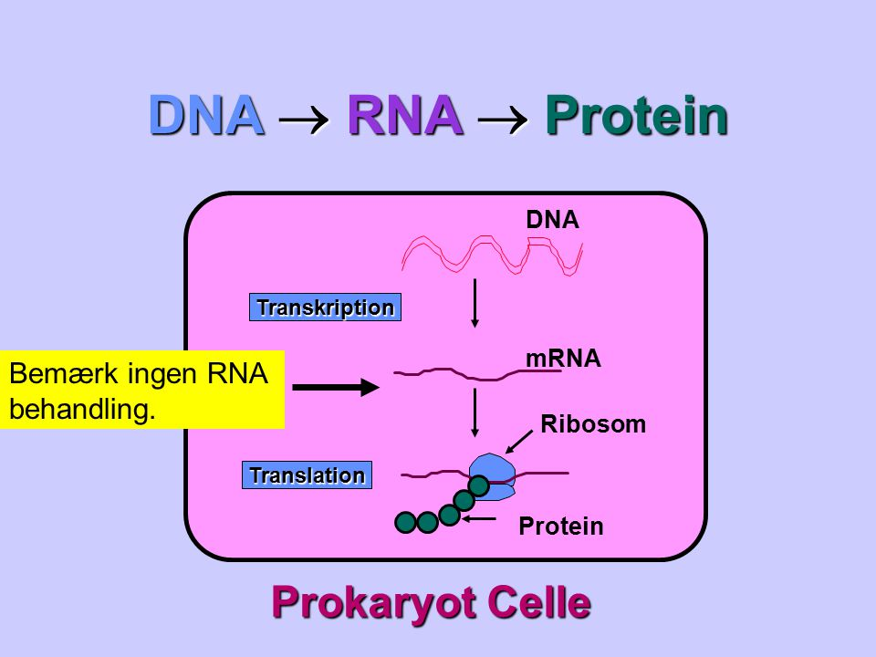 DNA  RNA  Protein Prokaryot Celle Bemærk ingen RNA behandling. DNA