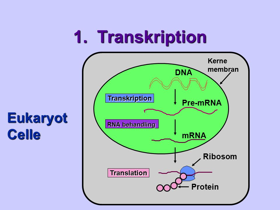 1. Transkription Eukaryot Celle DNA Pre-mRNA mRNA Ribosom Protein