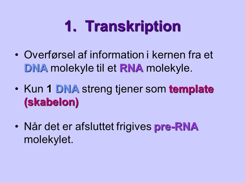 1. Transkription Overførsel af information i kernen fra et DNA molekyle til et RNA molekyle. Kun 1 DNA streng tjener som template (skabelon)