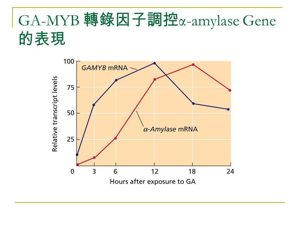 GA-MYB 轉錄因子調控α-amylase Gene的表現