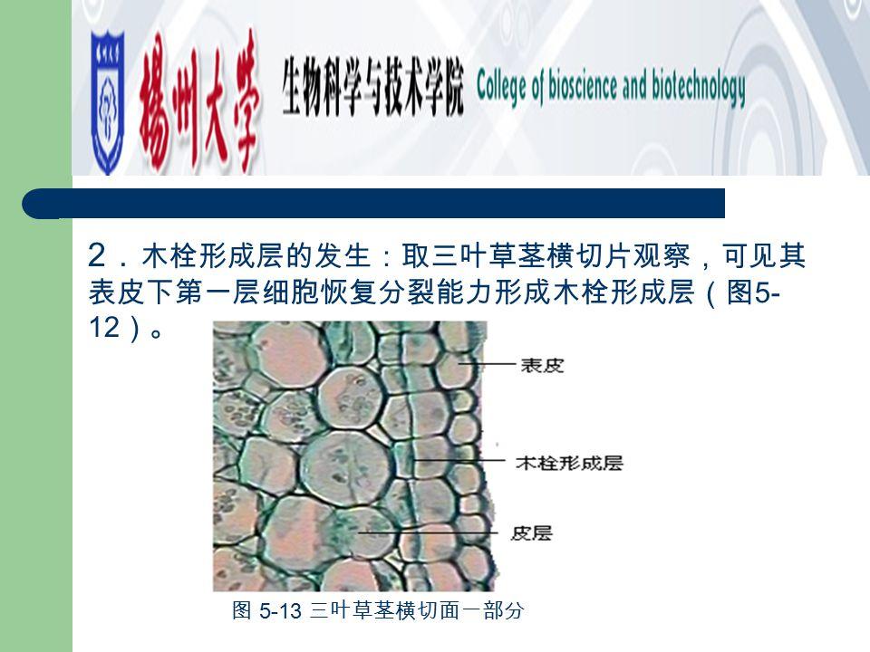 2.木栓形成层的发生:取三叶草茎横切片观察,可见其表皮下第一层细胞恢复分裂能力形成木栓形成层(图5-12)。