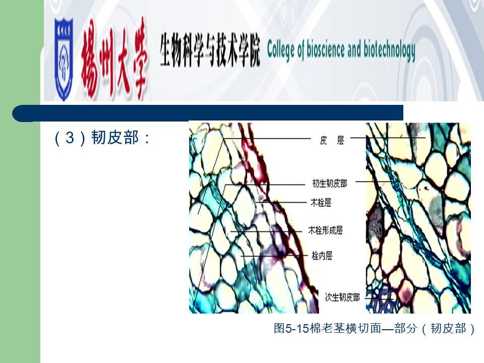 (3)韧皮部: 图5-15棉老茎横切面—部分(韧皮部)