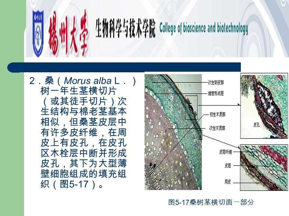 2.桑(Morus alba L.)树一年生茎横切片(或其徒手切片)次生结构与棉老茎基本相似,但桑茎皮层中有许多皮纤维,在周皮上有皮孔,在皮孔区木栓层中断并形成皮孔,其下为大型薄壁细胞组成的填充组织(图5-17)。