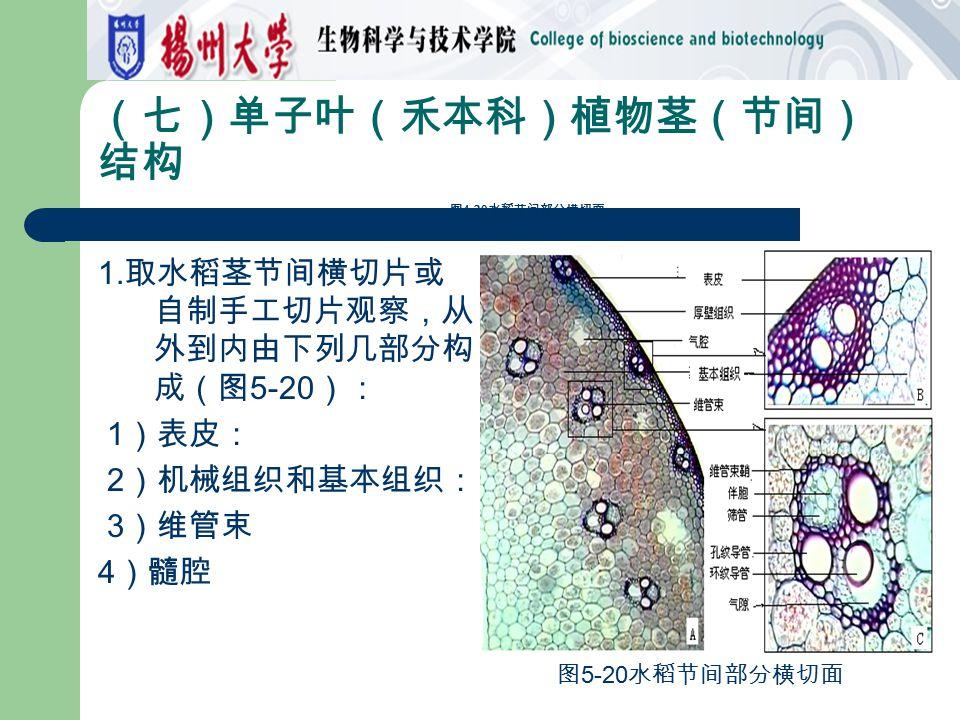 (七)单子叶(禾本科)植物茎(节间)结构