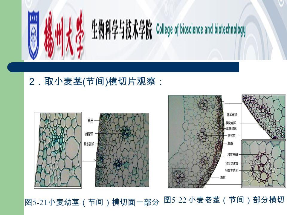 2.取小麦茎(节间)横切片观察: 图5-21小麦幼茎(节间)横切面一部分 图5-22 小麦老茎(节间)部分横切