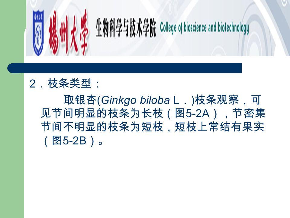 2.枝条类型: 取银杏(Ginkgo biloba L.)枝条观察,可见节间明显的枝条为长枝(图5-2A),节密集节间不明显的枝条为短枝,短枝上常结有果实(图5-2B)。