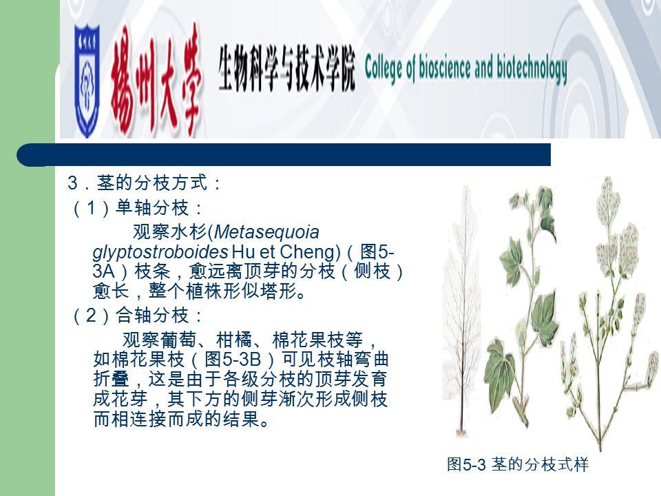 3.茎的分枝方式: (1)单轴分枝: 观察水杉(Metasequoia glyptostroboides Hu et Cheng)(图5-3A)枝条,愈远离顶芽的分枝(侧枝)愈长,整个植株形似塔形。