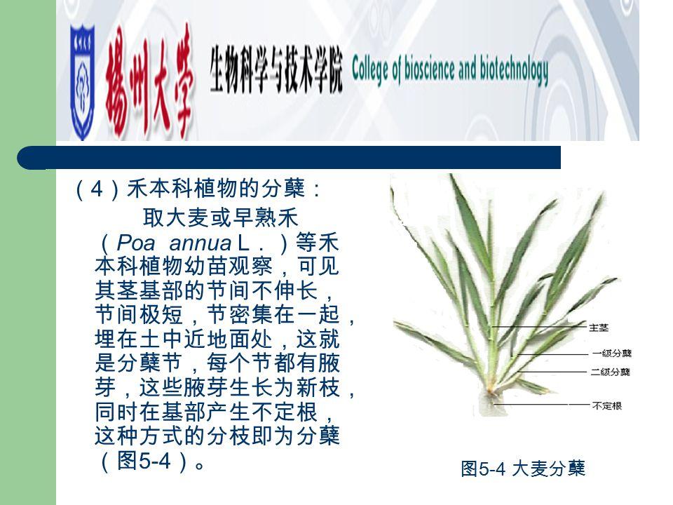 (4)禾本科植物的分蘖: 取大麦或早熟禾(Poa annua L.)等禾本科植物幼苗观察,可见其茎基部的节间不伸长,节间极短,节密集在一起,埋在土中近地面处,这就是分蘖节,每个节都有腋芽,这些腋芽生长为新枝,同时在基部产生不定根,这种方式的分枝即为分蘖(图5-4)。