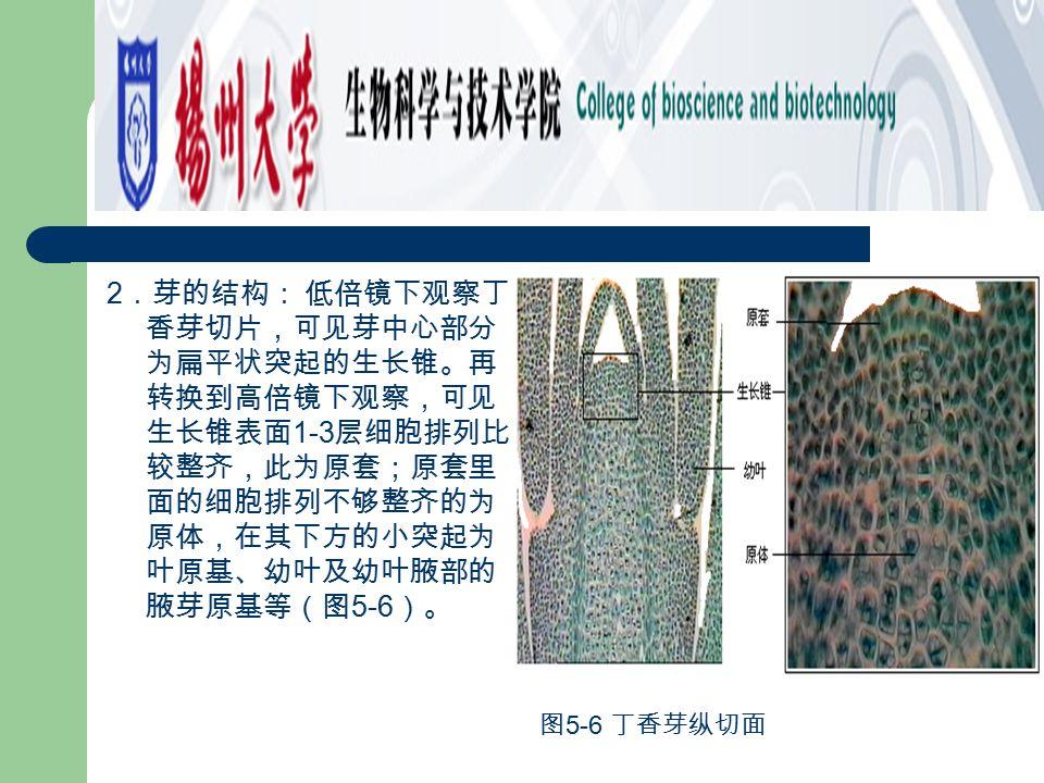 2.芽的结构: 低倍镜下观察丁香芽切片,可见芽中心部分为扁平状突起的生长锥。再转换到高倍镜下观察,可见生长锥表面1-3层细胞排列比较整齐,此为原套;原套里面的细胞排列不够整齐的为原体,在其下方的小突起为叶原基、幼叶及幼叶腋部的腋芽原基等(图5-6)。