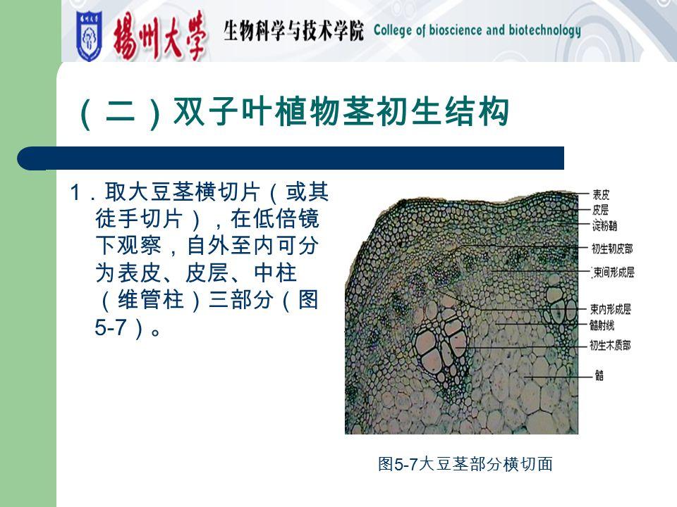 (二)双子叶植物茎初生结构 1.取大豆茎横切片(或其徒手切片),在低倍镜下观察,自外至内可分为表皮、皮层、中柱(维管柱)三部分(图5-7)。