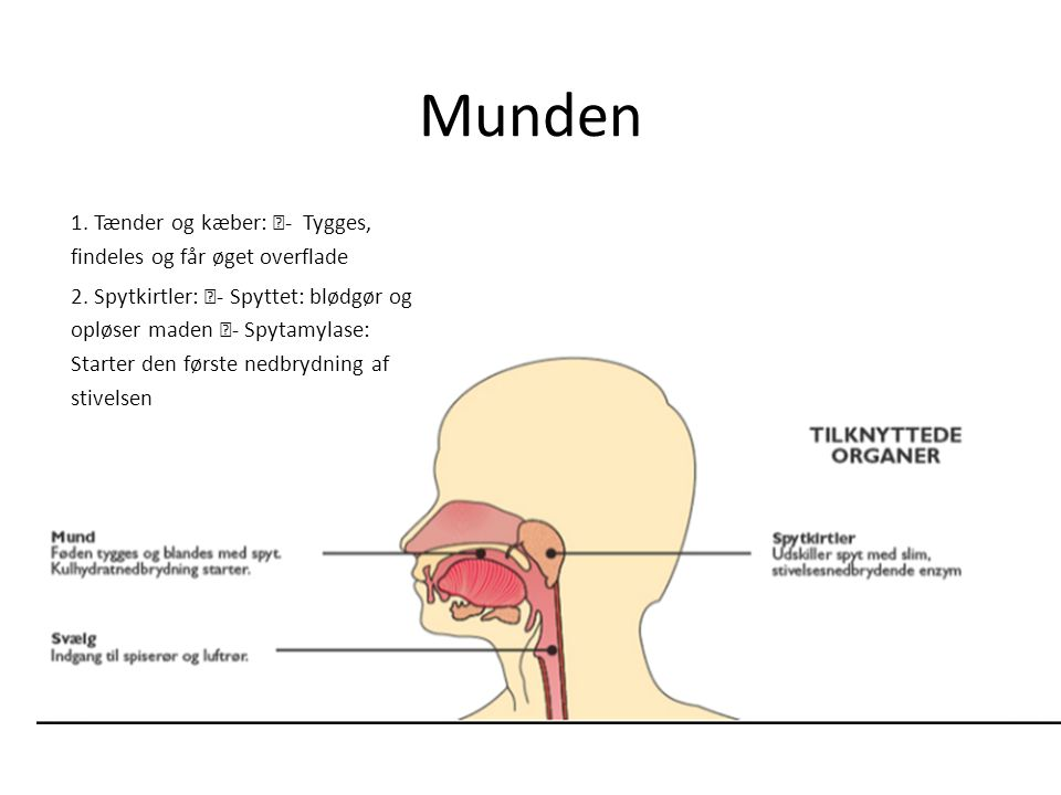 Munden 1. Tænder og kæber: - Tygges, findeles og får øget overflade
