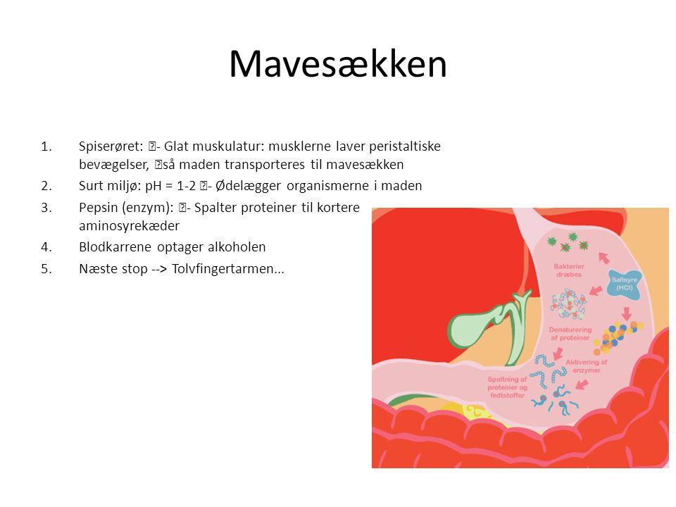 Mavesækken Spiserøret: - Glat muskulatur: musklerne laver peristaltiske bevægelser, så maden transporteres til mavesækken.