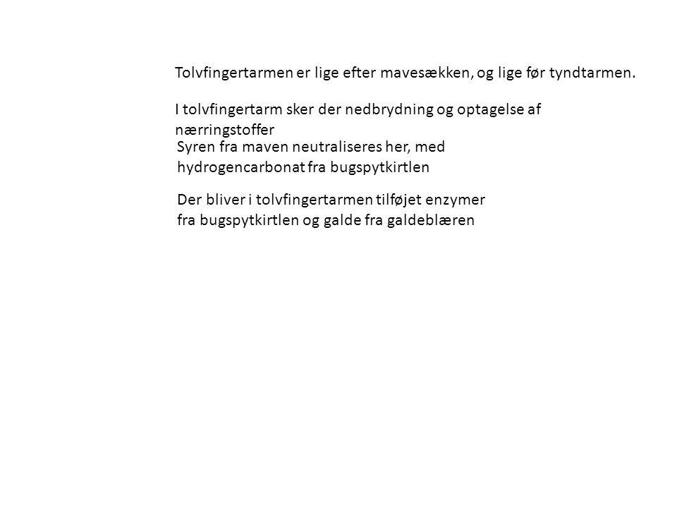 TOLVFINGERTARMEN (Duodenum)